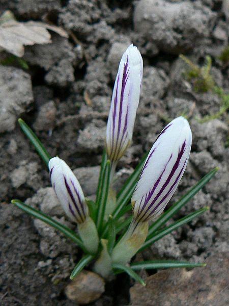 Crocus versicolor ? Versic12