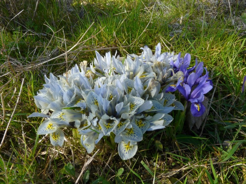 Iris reticulata Irisre11