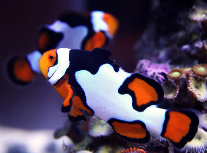 amphiprion picasso  Occela10