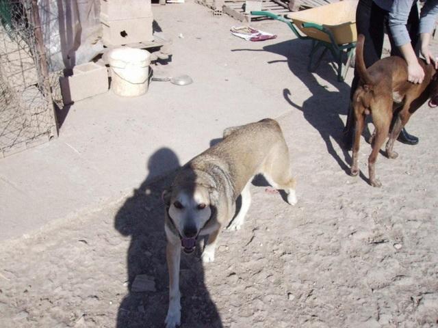 Nidea,cruce de husky 9 años.VALENCIA Nidea10
