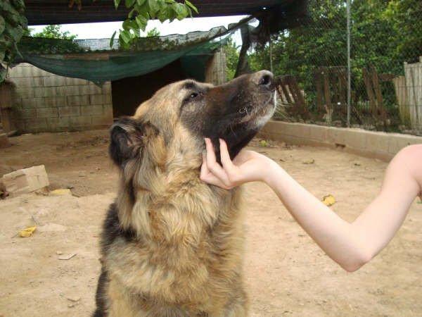 Poli  pastora alemana, 9 años Poli_d10