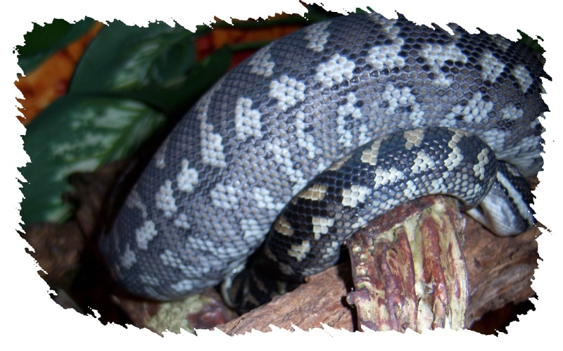 Morelia spilota mcdow bi-color 100_1019