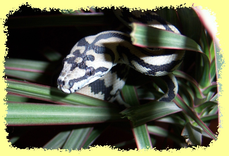 Morelia spilota Mcdow > mode house on C410