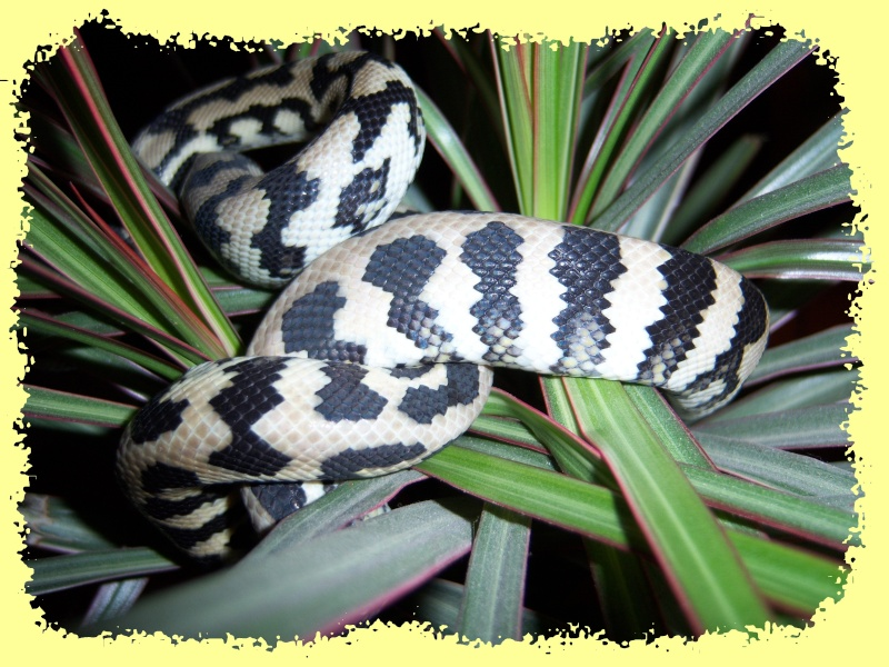Morelia spilota Mcdow > mode house on C510