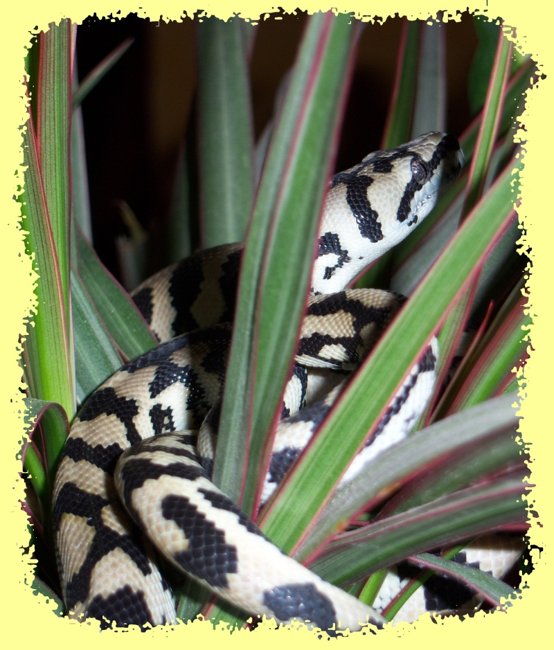 Morelia spilota Mcdow > mode house on C610