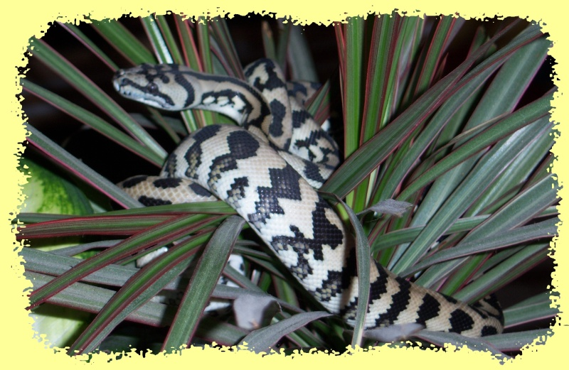 Morelia spilota Mcdow > mode house on C710