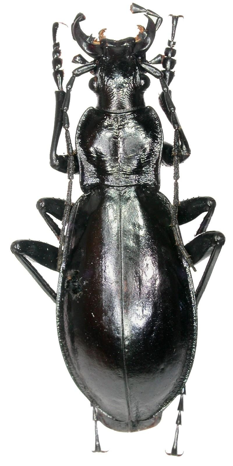 [C.(Chrysocarabus) splendens] variabilité du n.arradoyensis Chryso10