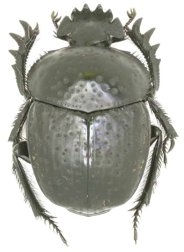 [Scarabaeus variolosus] de Grèce Dscn0010