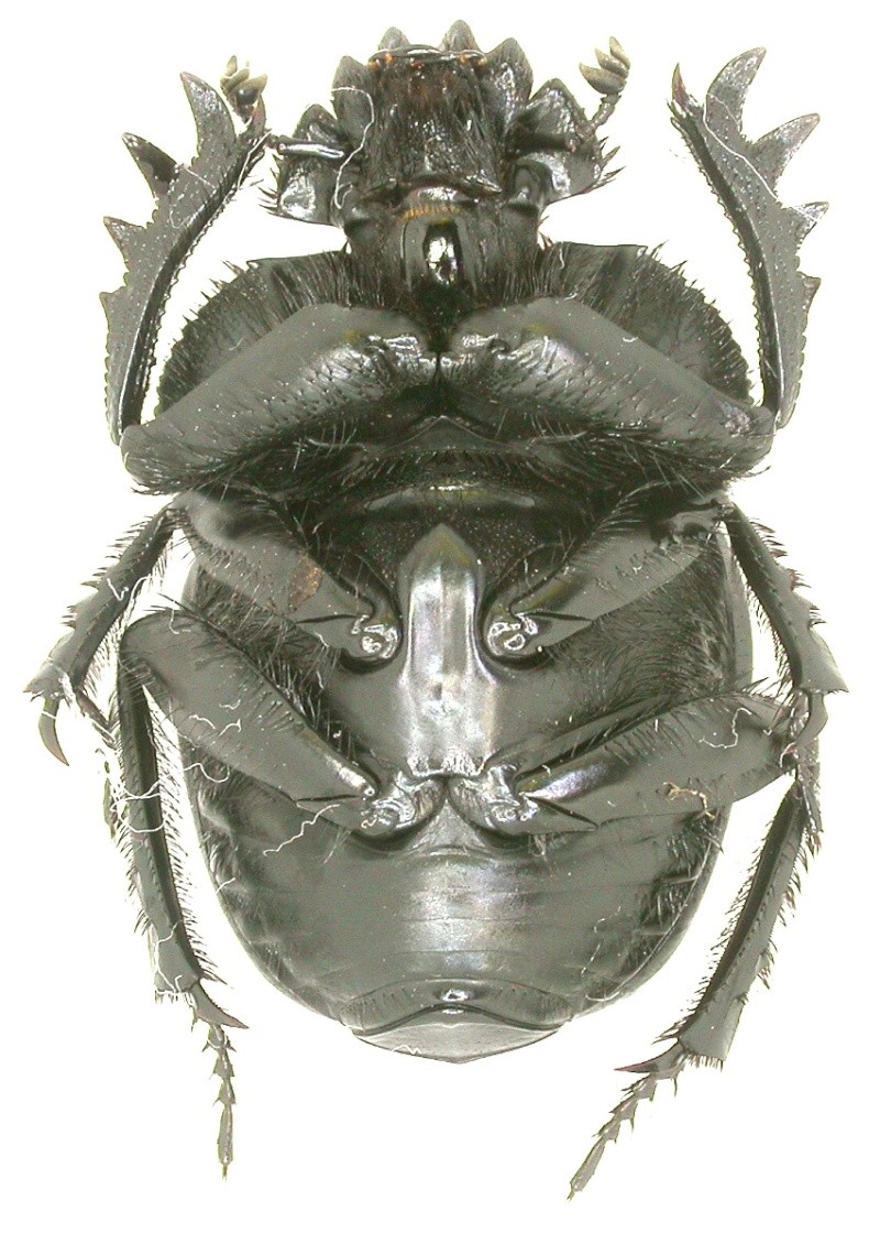 [Scarabaeus variolosus] de Grèce Dscn0011