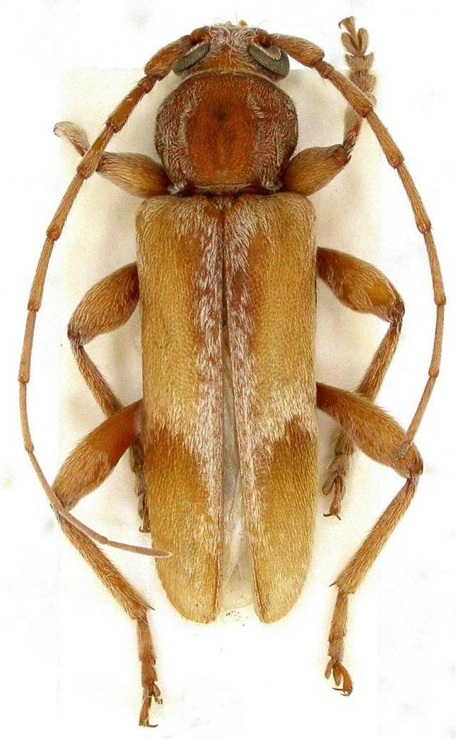 [Trichoferus pallidus] Hesperophanes pallidus Fontainebleau Dscn0410