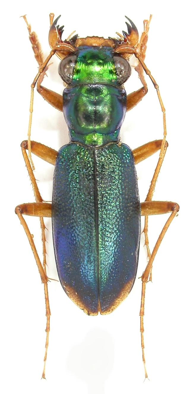 [Tetracha affinis] Cicindelidae, Guyane FR Dscn1115