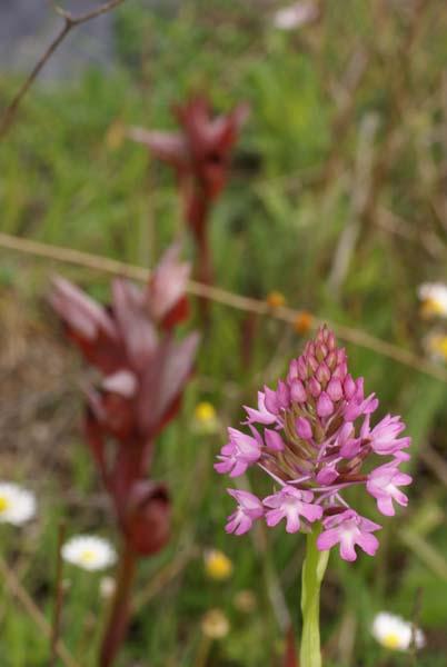 Anacamptis pyramidalis ( Orchis pyramidal ) Anacam10