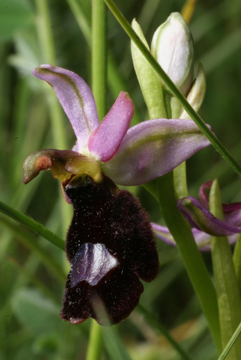 Ophrys aurelia vs drumana: identification Dsc02812