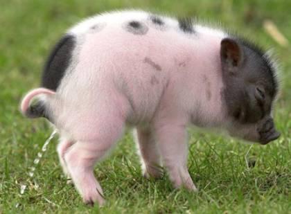 Mini Schwein Haustier