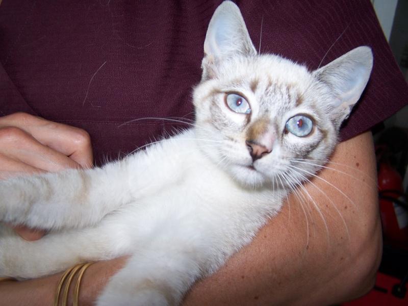 Trouvé chaton croisé siamois à Colomiers 100_8810