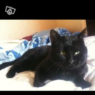 Perdu Boudha chat noir à Colomiers 91407810