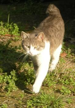 Perdu chat tigré et blanc à Blagnac Image010