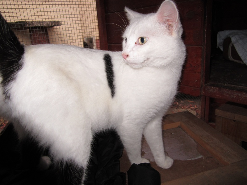 Perdu chat blanc queue noire et taches noires - Pibrac 6/12/2011 Img_0234
