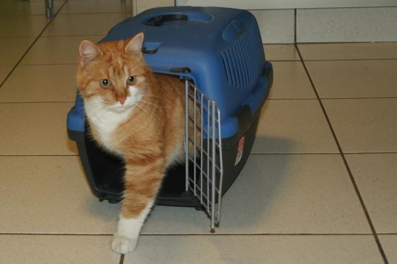 trouvé chat roux et blanc à Pibrac Img_0718