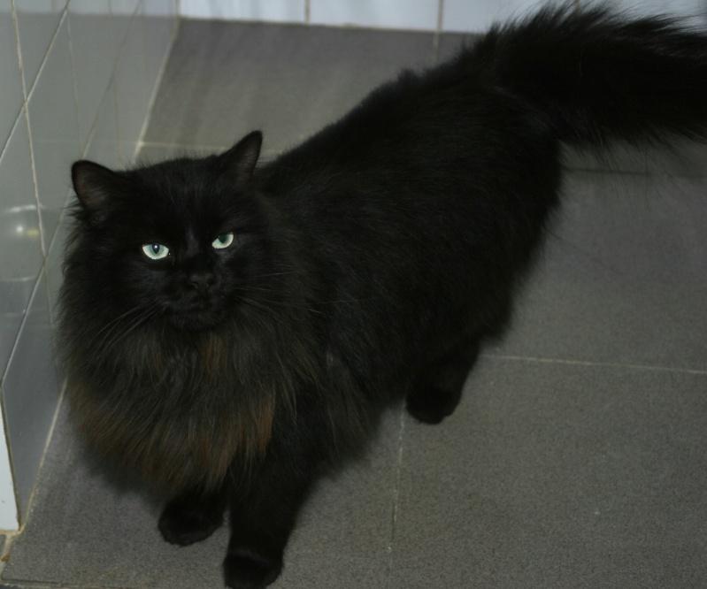 trouvé à la Salvetat chat noir poils longs Img_0943