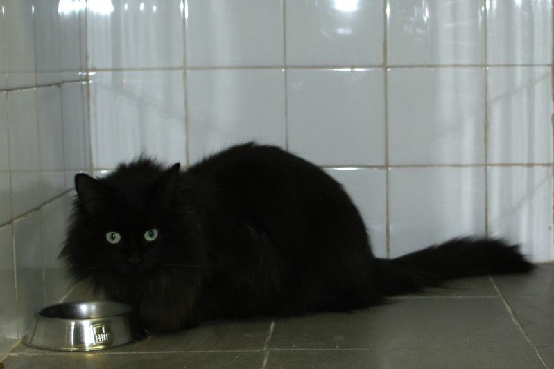 trouvé à la Salvetat chat noir poils longs Img_0944