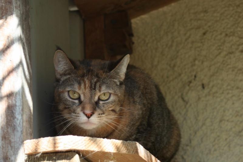 Trouvée à Toulouse - chatte tigrée traces de roux Img_1016