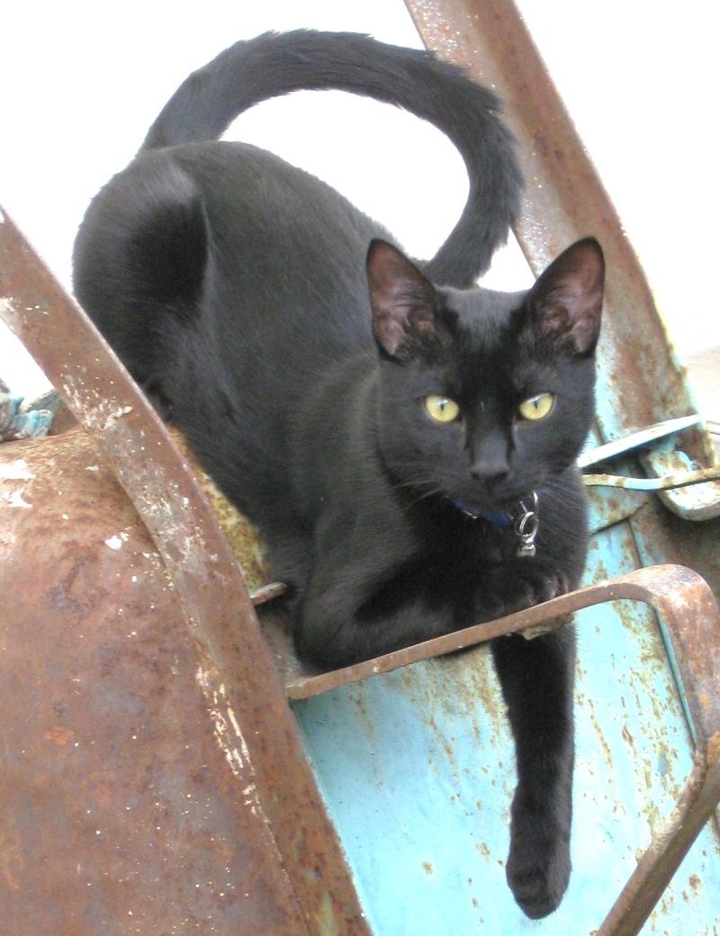 Perdu jeune chat noir à Saint Lys Img_1616