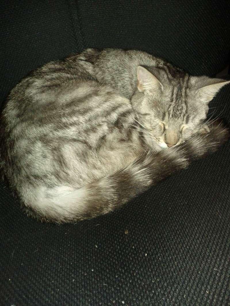 Perdue à Colomiers chatte tigrée Img_2011