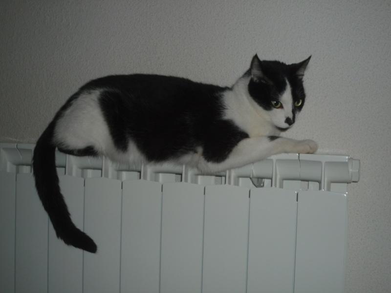 Perdu ''Nice'' chat noir et blanc à Colomiers P1040010