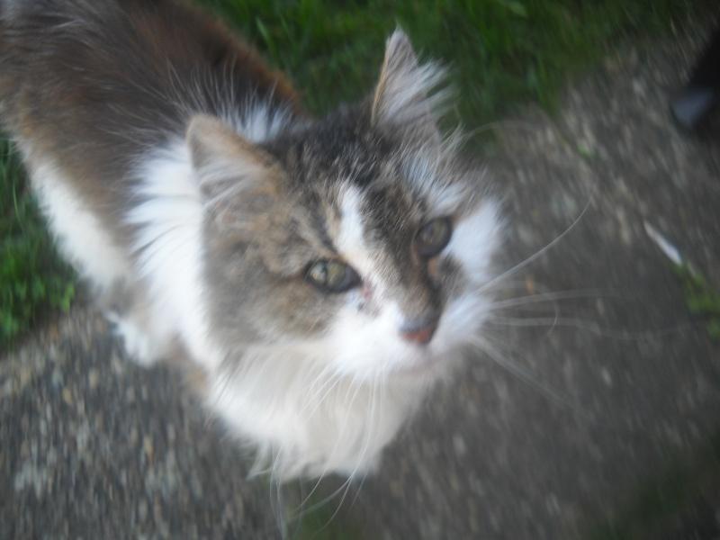 trouvé chatte allée Noirmoutiers à Colomiers Photo10