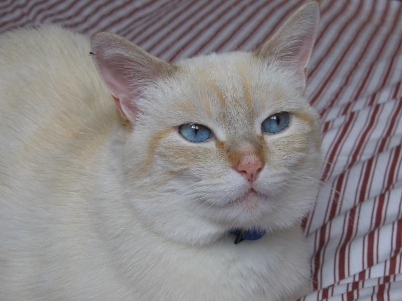 Perdu Saphir chat blanc queue rousse allée du Gers à Colomiers Photo_10
