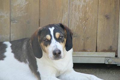 GORAN, croisé épagneul breton / beagle mâle, 10 mois (72) 53427210
