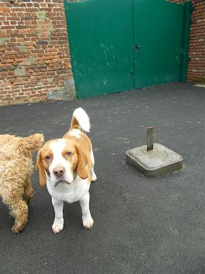 DIOUCK, beagle mâle, 3 ans (59) Dscn0110
