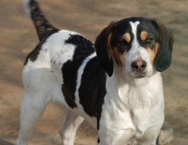 GORAN, croisé épagneul breton / beagle mâle, 10 mois (72) Goran110