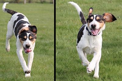 GORAN, croisé épagneul breton / beagle mâle, 10 mois (72) Goran_10
