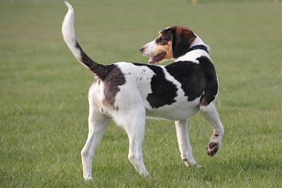 GORAN, croisé épagneul breton / beagle mâle, 10 mois (72) Goran_11
