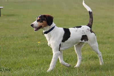 GORAN, croisé épagneul breton / beagle mâle, 10 mois (72) Goran_12