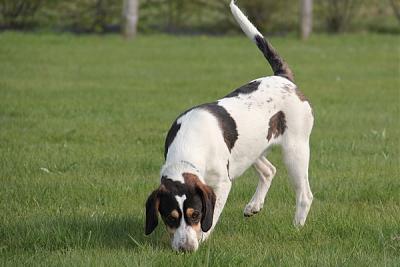 GORAN, croisé épagneul breton / beagle mâle, 10 mois (72) Goran_14
