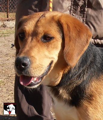 HELMA, croisée beagle femelle, 2 ans (83) Helma_12