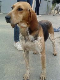 ELFY, croisée beagle femelle, 5 ans (49) Imf_co11