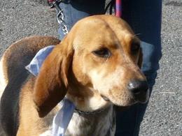 ELFY, croisée beagle femelle, 5 ans (49) Imf_co12