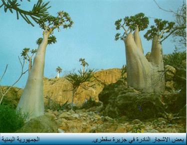 اليمن السعيد (سقطرة) Socatr11