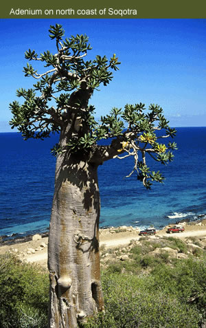 اليمن السعيد (سقطرة) Socotr10