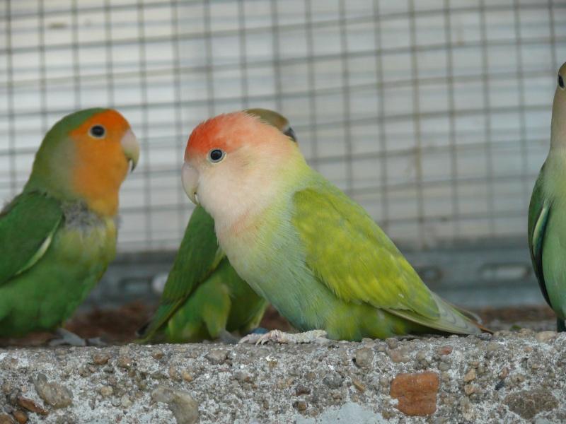 couleur de cette oiseau? Opmaph10