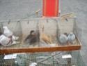 un marché aux animaux (tous les dimanches) Dsc01581
