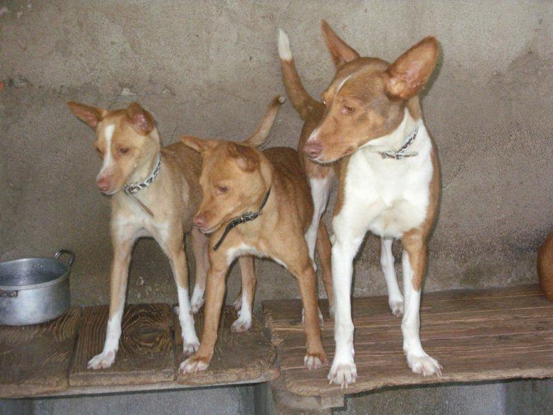 As minhas cadelas de caça Sdc17611