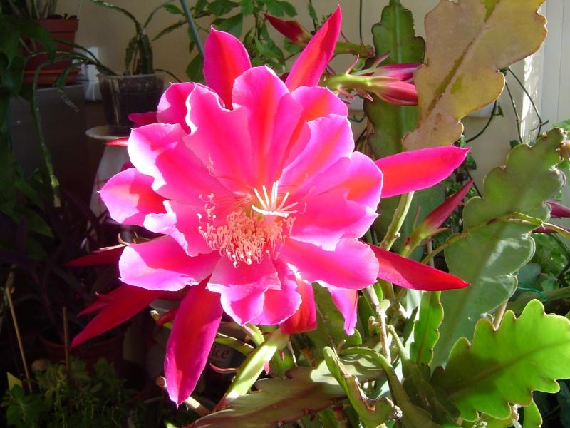 Les Epiphyllums se réveillent Dsc01328