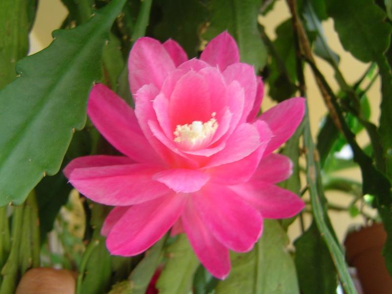 Les Epiphyllums se réveillent Dsc01913