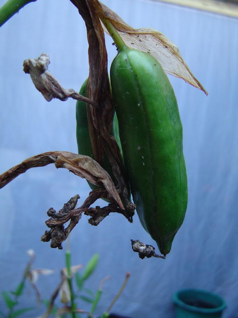 Iris pseudacorus ? Dsc02415