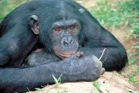 Bienvenue Jean-Marc!! Bonobo10